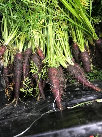 Purple carrots from Tidewater Agronomics