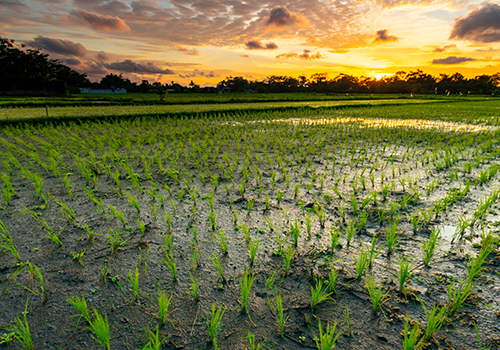 Shutterstock photo of rice paddy