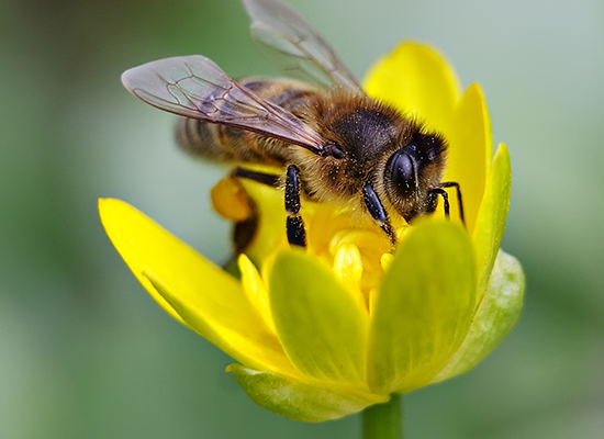 Shutterstock image of bee