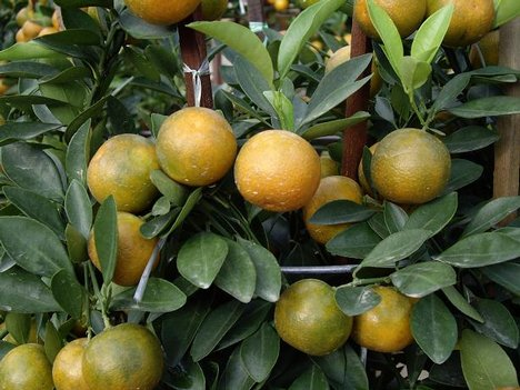 Citrus greening disease