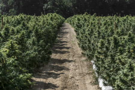 One of Criticality's eastern NC hemp fields ready for 2018 harvest.
